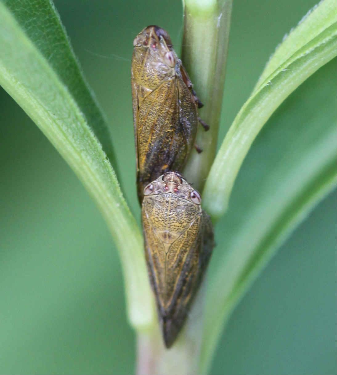 Image of spittle bug