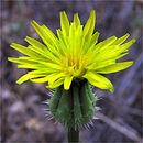 Image of prickly golden-fleece