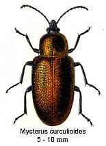 Image of <i>Mycterus curculioides</i> (Fabricius 1781) Fabricius 1781