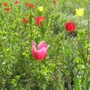 Image of <i>Tulipa suaveolens</i> Roth