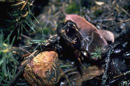Image of Quacking Frog