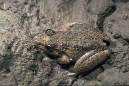 Image of Bumpy Rocket Frog