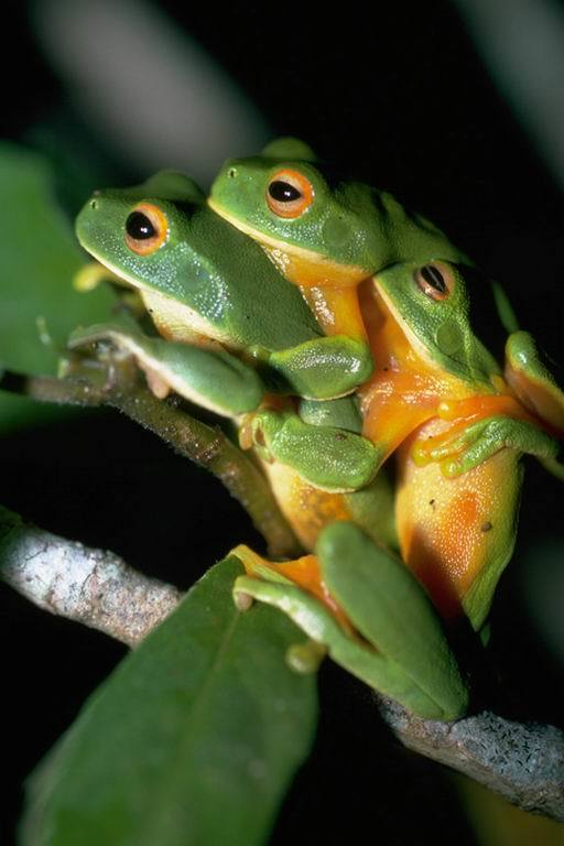 Image of Lime Treefrog