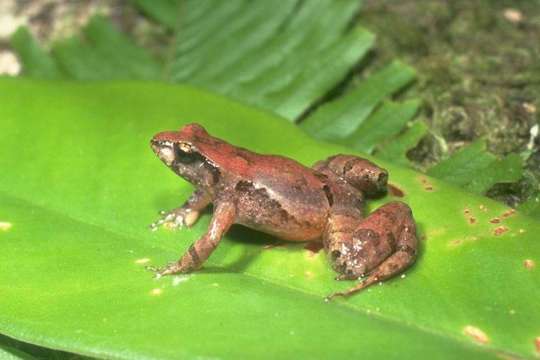 Image of Eungella Tinker Frog