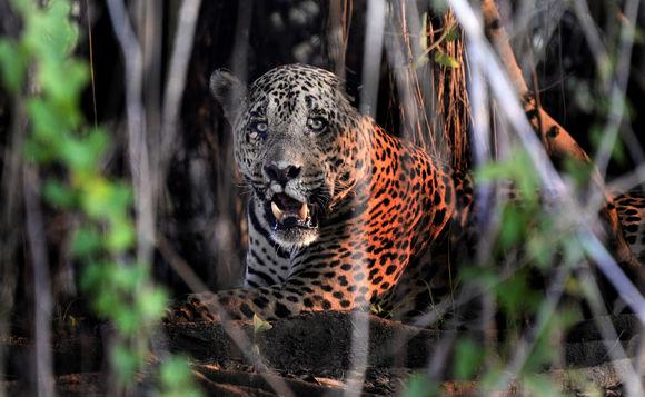 Image of <i>Panthera onca palustris</i> (Ameghino 1888)