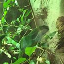 Image of Fiji Island banded iguana