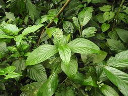Image of Chloranthaceae