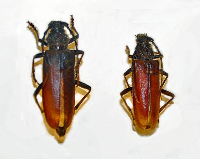 Image of <i>Cerambyx welensii</i> (Küster 1845)