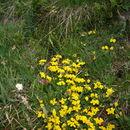 Image of Alpine Birdsfoot-trefoil