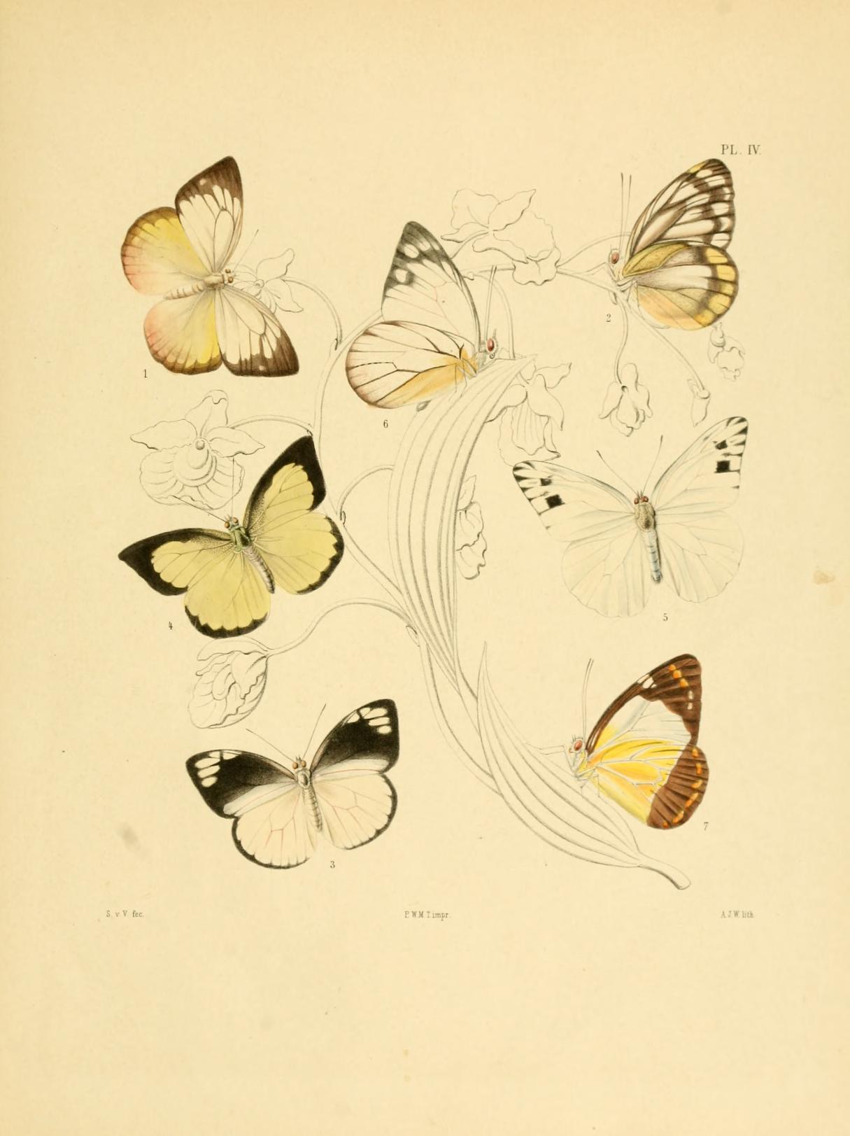 Image of <i>Appias cardena</i> (Hewitson 1861)
