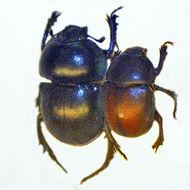 Image of <i>Trypocopris pyrenaeus</i> (Charpentier 1825)