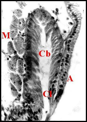 Image of <i>Diguetia canities</i> (Mc Cook 1890)