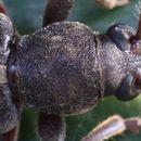 Image of Trichoferus