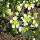 Image of Mexican cliffrose