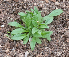 Image of African mustard