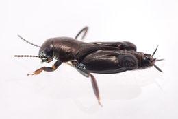 Image of pygmy mole crickets