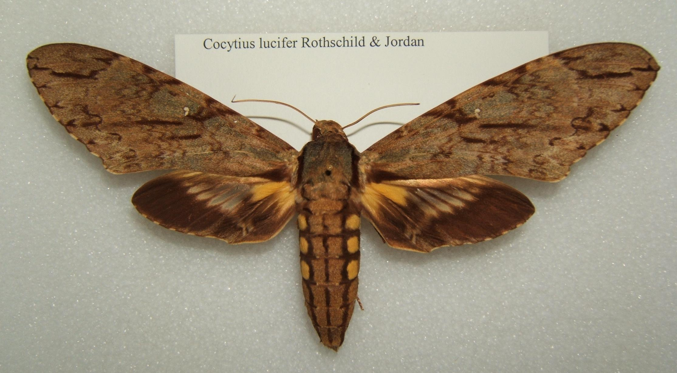 Image of <i>Cocytius lucifer</i> Rothschild & Jordan 1903