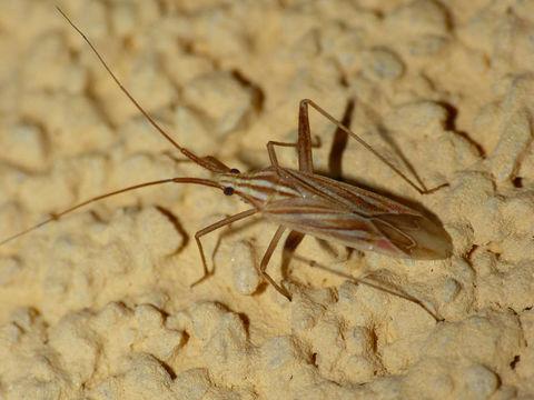 Image of <i>Miridius quadrivirgatus</i> (A. Costa 1853)
