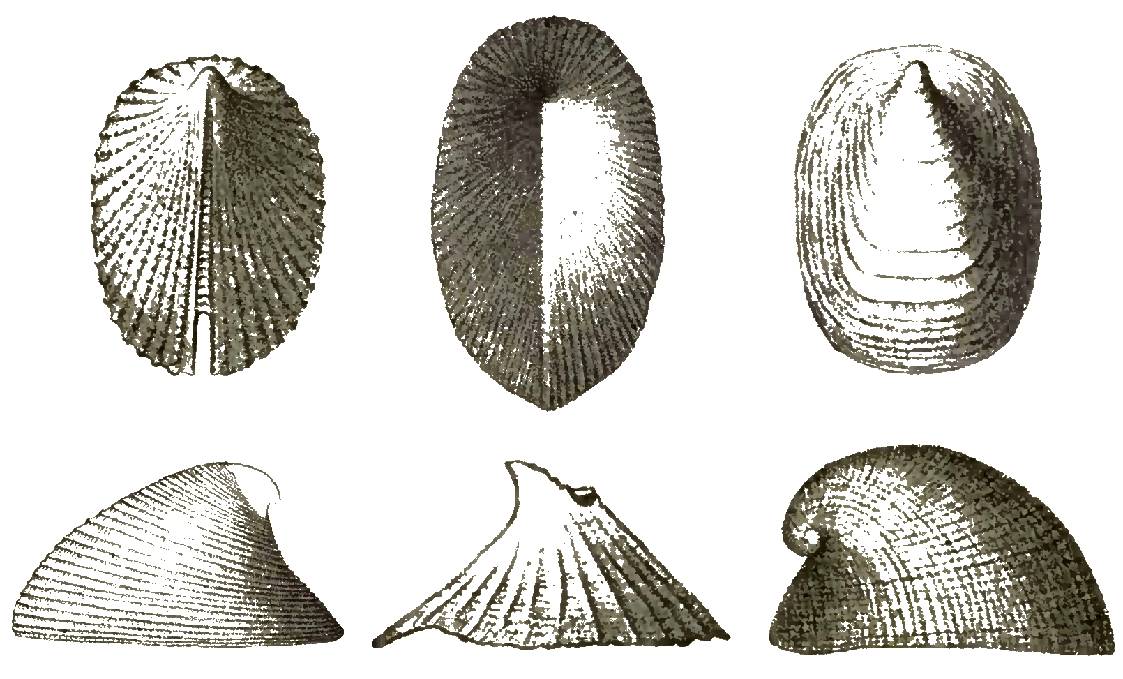 Image of Cocculinidae
