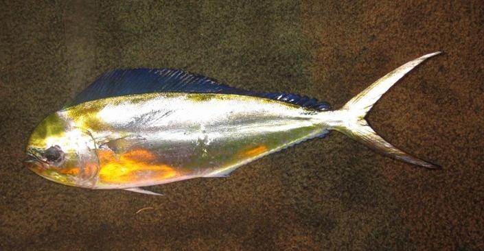 Image of Mahi Mahi