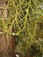 Image of <i>Angraecum pungens</i> Schltr.