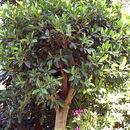 Image of Chinese banyan