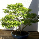 Image of Japanese beech
