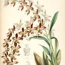 Image of <i>Odontoglossum luteopurpureum</i>