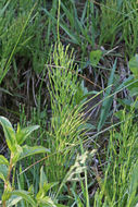 Image of field horsetail