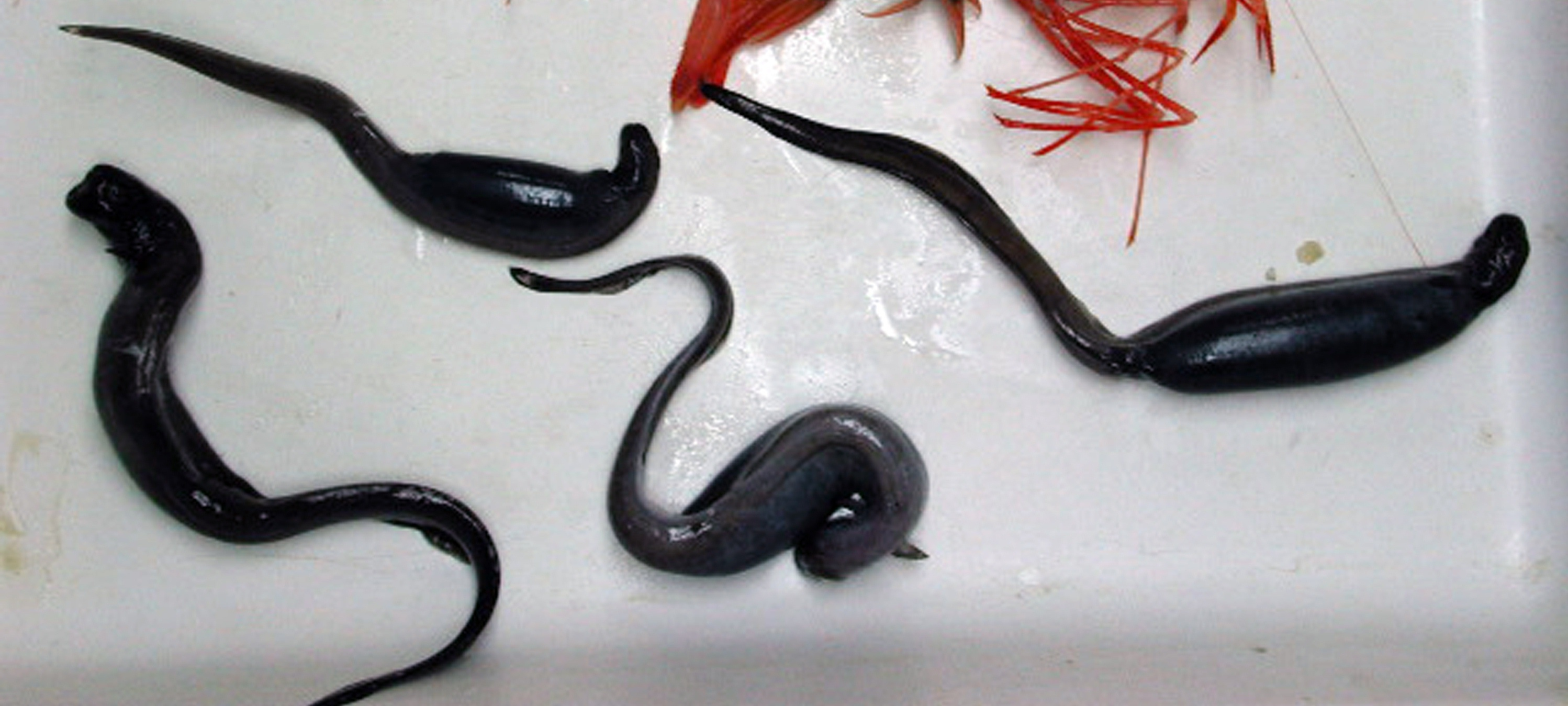 Image of Pug-nosed Eel