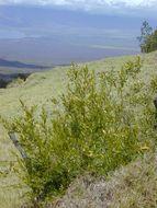 Image of wild olive
