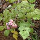 Image of Mysore raspberry