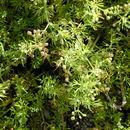 Image of marsh parsley