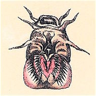 Image of Blind Eel