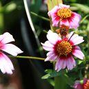Image of <i>Coreopsis rosea</i> Nutt.