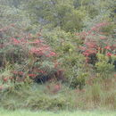 Image of Chinese firethorn