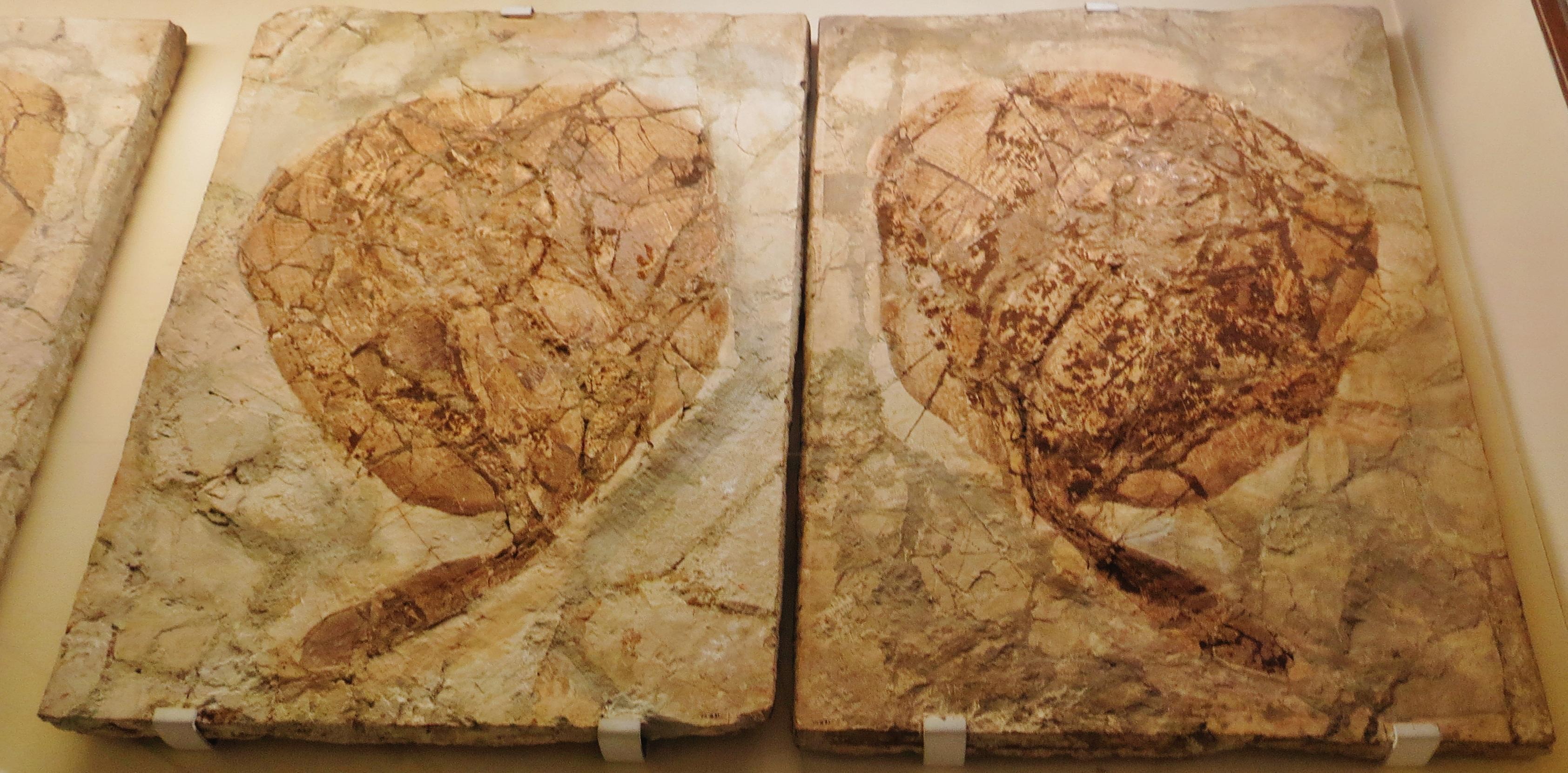 Image of Urolophus