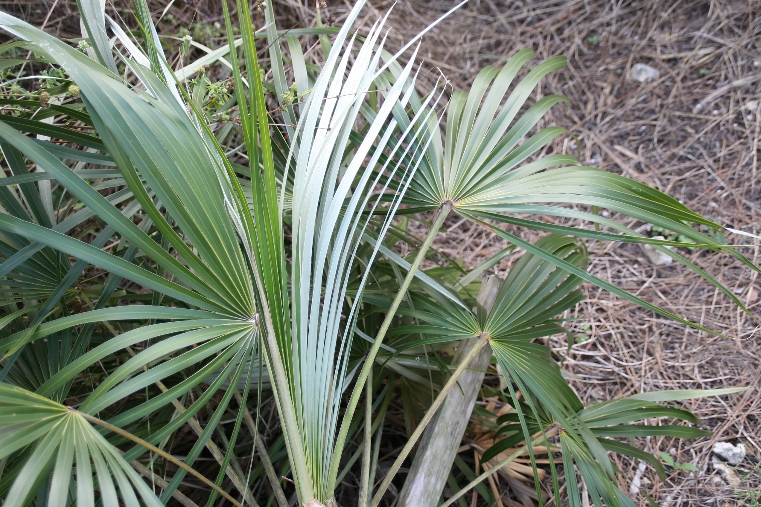 Image of Florida silver palm