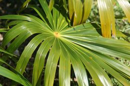 Image of Puerto Rico silver palm