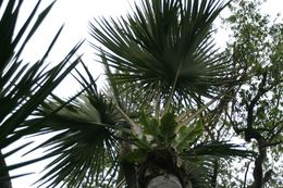 Image of <i>Corypha utan</i> Lam.