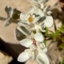 Image of shrubby honeysweet