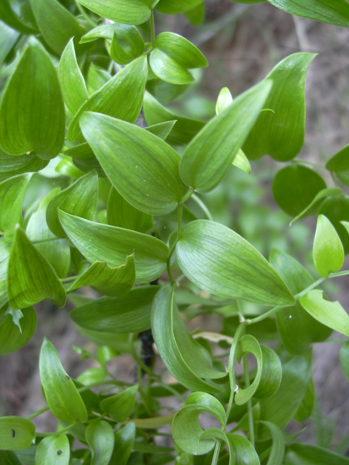 Image of Smilax Asparagus