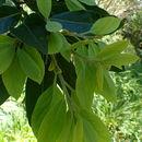 Image of <i>Apollonias barbujana</i> (Cav.) A. Br.