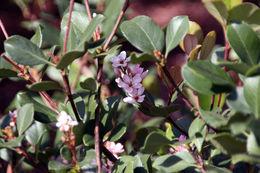 Image of hawthorn