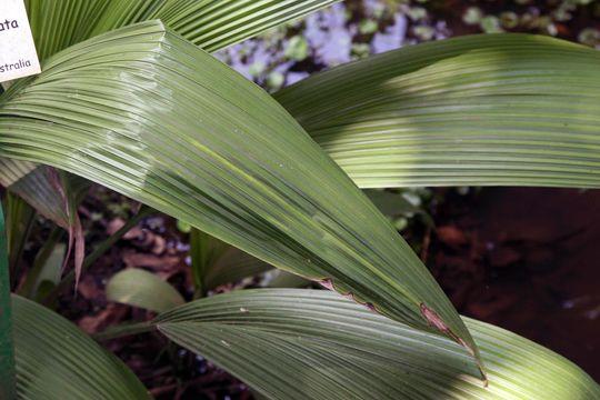 Image of <i>Molineria capitulata</i> (Lour.) Herb.