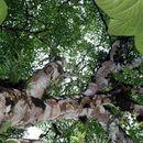 Image of <i>Gordonia fruticosa</i> (Schrader) H. Keng