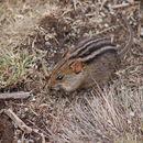 Image of Mesic Four-striped Grass Rat
