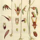 Image of Midge orchids