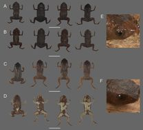 Image of <i>Brachycephalus brunneus</i> Ribeiro, Alves, Haddad & Reis 2005