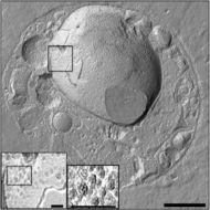 Image of <i>Gemmata obscuriglobus</i>